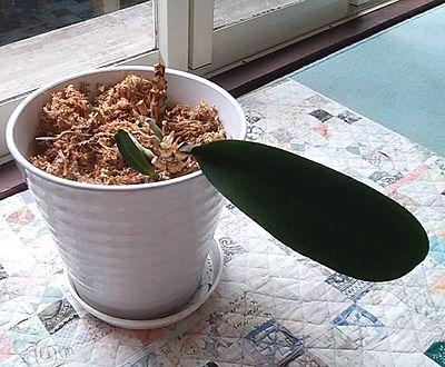 その後の胡蝶蘭3