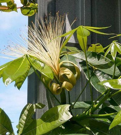 パキラの花