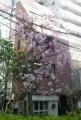 verve前の桜