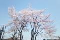 自宅前の桜