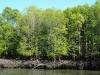 ランカウイ マングローブの森