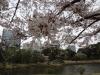 芝離宮の桜