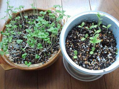 土鍋で育てるシャキシャキ野菜とベジフィール レタス