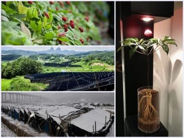 高麗紅参茶の産地