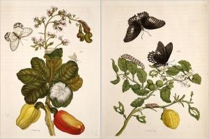 Metamorphosis insectorum Surinamensium 1705