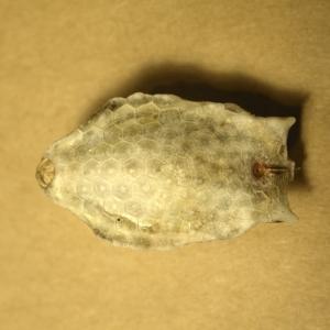 コンゴウフグの幼魚(のミイラ)