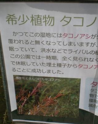 タコノアシ.jpg