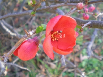 ボケの花.jpg