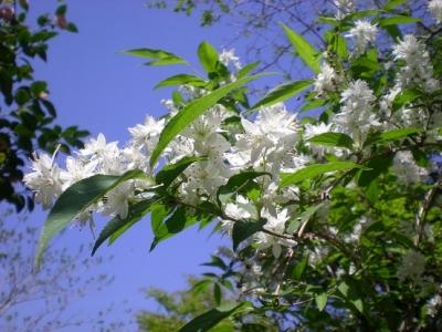 青空に白い花.jpg