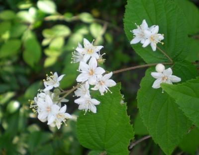 マルバウツギの花.jpg