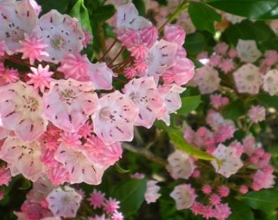 カルミア ピンク.jpg
