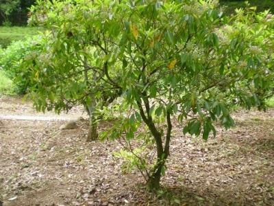 樹形.jpg