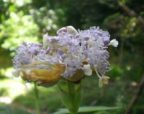 玉紫陽花.jpg