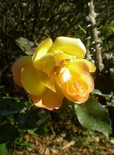 冬の薔薇.jpg