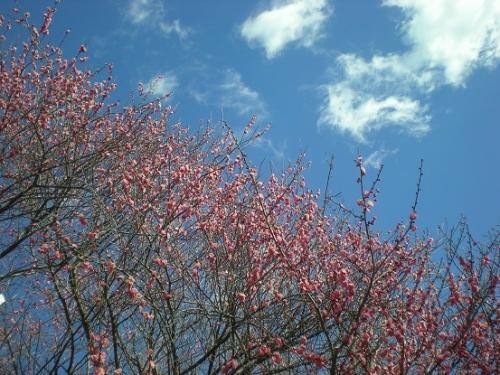紅梅と空.jpg