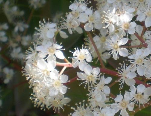 カナメモチの花.jpg