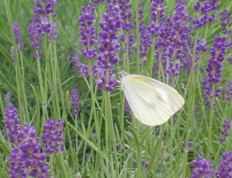 白い蝶.jpg