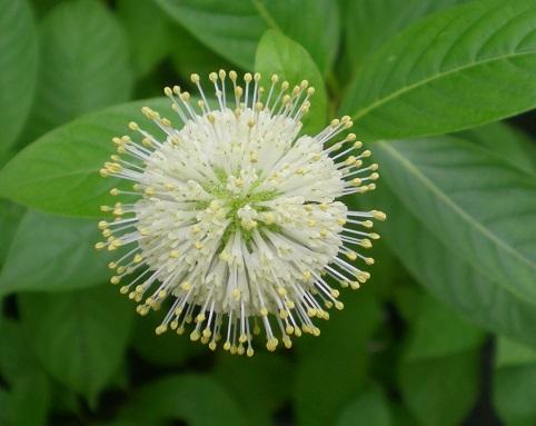 タマガサノキの花.jpg