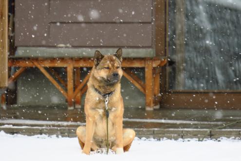 手白澤温泉の看板犬(岳)