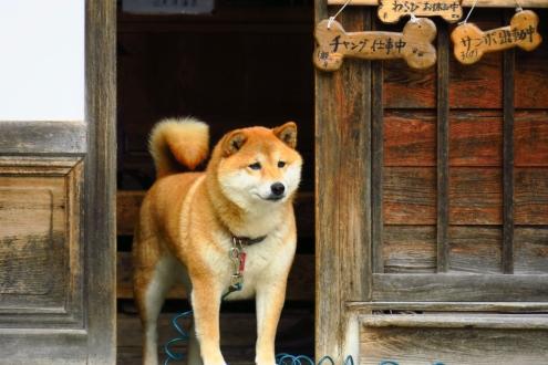 日光澤温泉の看板犬チャング