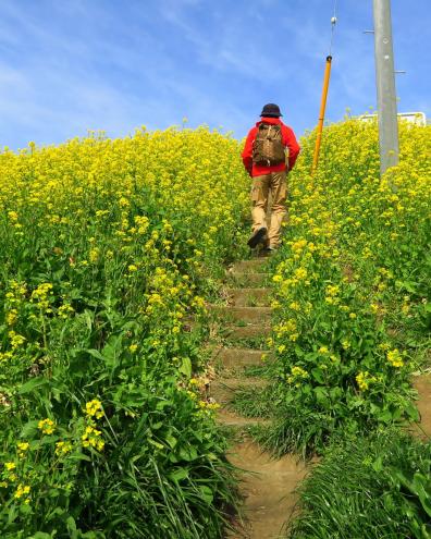 栗橋宿の菜の花畑
