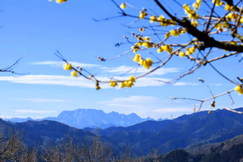 蝋梅と両神山
