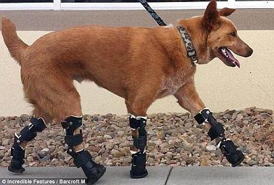 四肢切断した犬に義足ロボットを装着