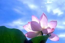 蓮の花.png