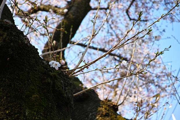 2016.3.29桜.ブログjpg.jpg