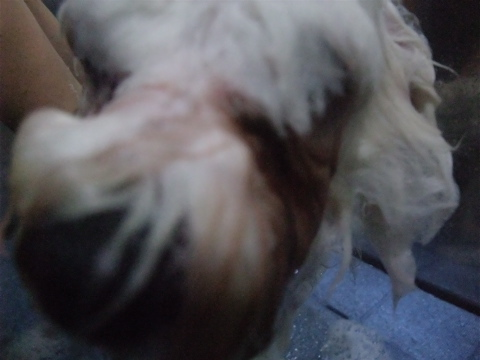 ビションフリーゼブリーダーこいぬ赤ちゃん子犬東京フントヒュッテhundehutte文京区トリミングサロンビションカットアフロカット良血統ビション毛量の多いビションb