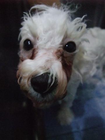 ビションフリーゼブリーダーこいぬ赤ちゃん子犬東京フントヒュッテhundehutte文京区トリミングサロンビションカットアフロカット良血統ビション毛量の多いビションf