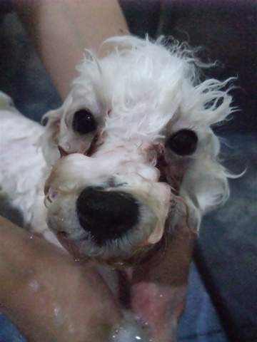 ビションフリーゼブリーダーこいぬ赤ちゃん子犬東京フントヒュッテhundehutte文京区トリミングサロンビションカットアフロカット良血統ビション毛量の多いビションg