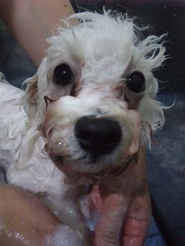 ビションフリーゼブリーダーこいぬ赤ちゃん子犬東京フントヒュッテhundehutte文京区トリミングサロンビションカットアフロカット良血統ビション毛量の多いビションh