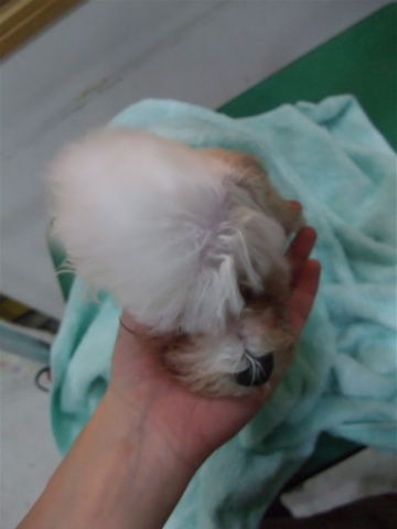 ビションフリーゼブリーダーこいぬ赤ちゃん子犬東京フントヒュッテhundehutte文京区トリミングサロンビションカットアフロカット良血統ビション毛量の多いビションq