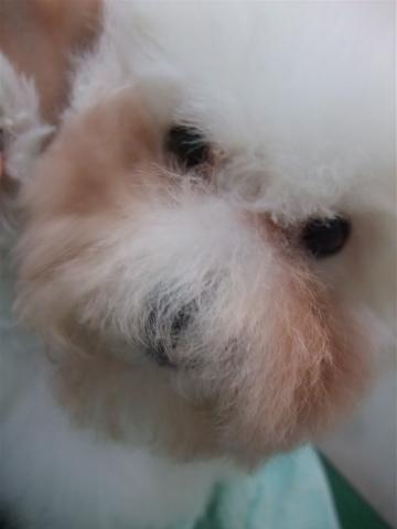 ビションフリーゼブリーダーこいぬ赤ちゃん子犬東京フントヒュッテhundehutte文京区トリミングサロンビションカットアフロカット良血統ビション毛量の多いビションx