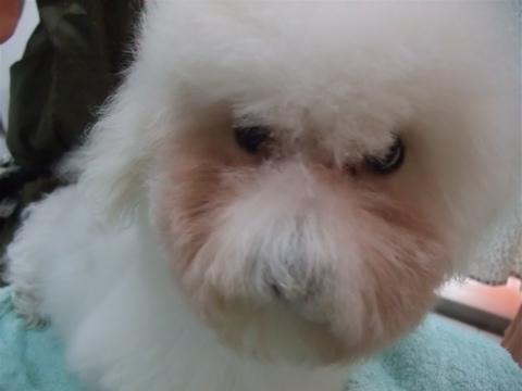 ビションフリーゼブリーダーこいぬ赤ちゃん子犬東京フントヒュッテhundehutte文京区トリミングサロンビションカットアフロカット良血統ビション毛量の多いビションz28