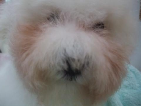 ビションフリーゼブリーダーこいぬ赤ちゃん子犬東京フントヒュッテhundehutte文京区トリミングサロンビションカットアフロカット良血統ビション毛量の多いビションz29