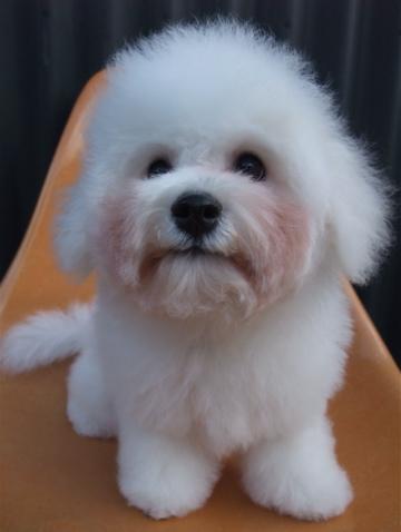 ビションフリーゼブリーダーこいぬ赤ちゃん子犬東京フントヒュッテhundehutte文京区トリミングサロンビションカットアフロカット良血統ビション毛量の多いビションz33