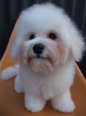 ビションフリーゼブリーダーこいぬ赤ちゃん子犬東京フントヒュッテhundehutte文京区トリミングサロンビションカットアフロカット良血統ビション毛量の多いビションz34