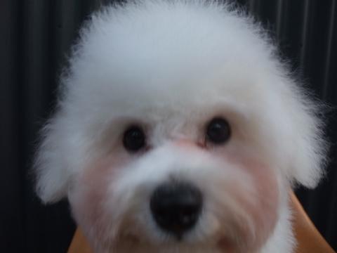 ビションフリーゼブリーダーこいぬ赤ちゃん子犬東京フントヒュッテhundehutte文京区トリミングサロンビションカットアフロカット良血統ビション毛量の多いビションz35