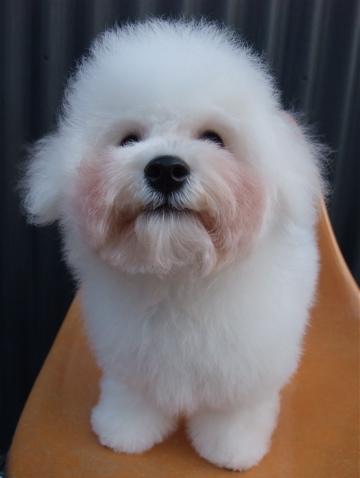 ビションフリーゼブリーダーこいぬ赤ちゃん子犬東京フントヒュッテhundehutte文京区トリミングサロンビションカットアフロカット良血統ビション毛量の多いビションz36