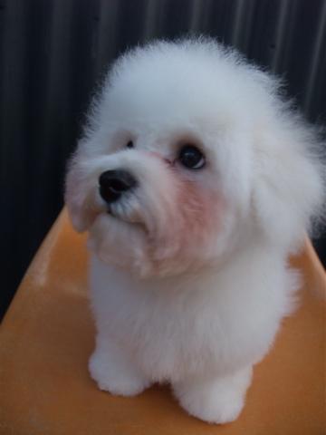 ビションフリーゼブリーダーこいぬ赤ちゃん子犬東京フントヒュッテhundehutte文京区トリミングサロンビションカットアフロカット良血統ビション毛量の多いビションz37