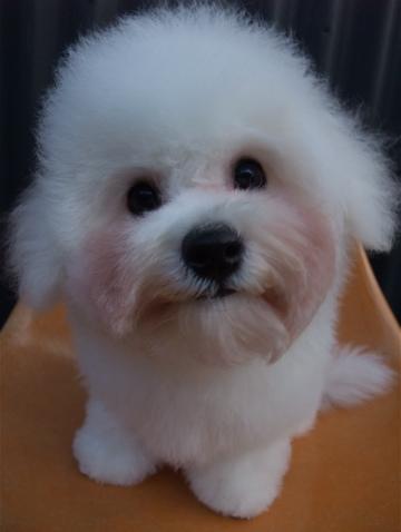 ビションフリーゼブリーダーこいぬ赤ちゃん子犬東京フントヒュッテhundehutte文京区トリミングサロンビションカットアフロカット良血統ビション毛量の多いビションz38