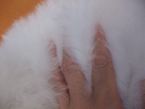 ビションフリーゼブリーダーこいぬ赤ちゃん子犬東京フントヒュッテhundehutte文京区トリミングサロンビションカットアフロカット良血統ビション毛量の多いビションz39