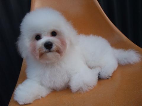 ビションフリーゼブリーダーこいぬ赤ちゃん子犬東京フントヒュッテhundehutte文京区トリミングサロンビションカットアフロカット良血統ビション毛量の多いビションz43