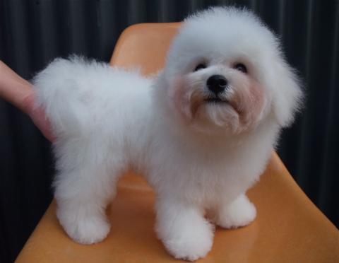 ビションフリーゼブリーダーこいぬ赤ちゃん子犬東京フントヒュッテhundehutte文京区トリミングサロンビションカットアフロカット良血統ビション毛量の多いビションz45