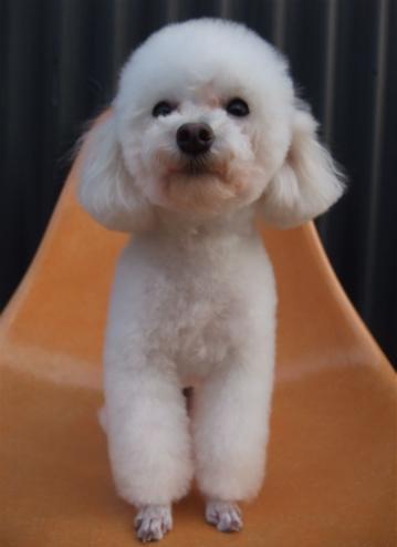 トイプーアフロカット文京区トリミングプードルカットトイプードルブリーダー子犬ショップ出産東京ビションフリーゼトリミングフントヒュッテhundehutte1