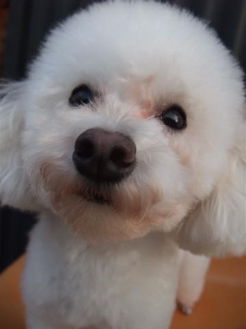 トイプーアフロカット文京区トリミングプードルカットトイプードルブリーダー子犬ショップ出産東京ビションフリーゼトリミングフントヒュッテhundehutte3