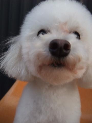トイプーアフロカット文京区トリミングプードルカットトイプードルブリーダー子犬ショップ出産東京ビションフリーゼトリミングフントヒュッテhundehutte4