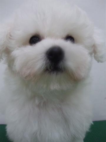 子犬こいぬのシャンプービションフリーゼブリーダー東京フントヒュッテオリジナルリード犬首輪文京区トリミングビションカット安田美沙子はんな先輩hundehutteh